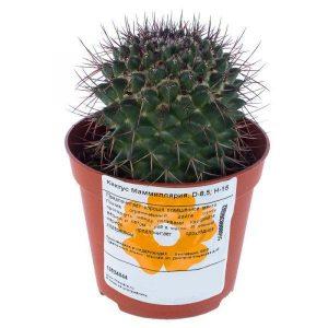 kaktus mamilljarija 85h15 sm 300x300 -купить строймаркет молоток Подольск, Чехов, Климовск, Щербинка, Троицк, Кузнечики